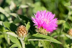 Beautiful knapweed with a bud Stock Images