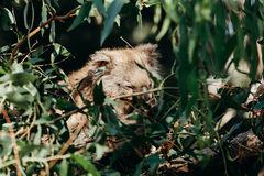 Beautiful koala eating eucalyptus leaves between tree branches. Stock Images