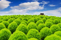 Beautiful kochias at Hitachi seaside park, Japan Stock Photos