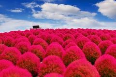 Beautiful kochias at Hitachi seaside park, Japan Royalty Free Stock Image