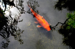 Beautiful Koi or Carp Chinese Fish in Water. A beautiful and elegant koi/ carp Chinese fish in water with reflection of trees Royalty Free Stock Images