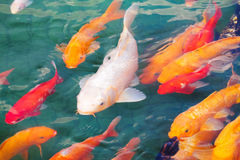 Beautiful koi fish. Swimming in the pond royalty free stock photo