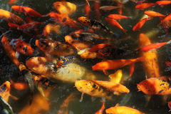 Beautiful Koi fish feeding. In a natural pond Stock Photo