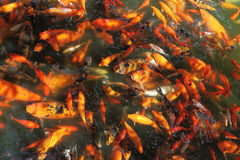 Beautiful Koi fish feeding. In a natural pond Royalty Free Stock Image