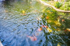 Beautiful koi fish in pond Stock Photos