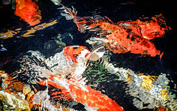 Beautiful koi fish swimming in the garden pond Stock Photo