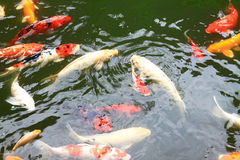 Beautiful koi fish swimming in the pond Stock Images