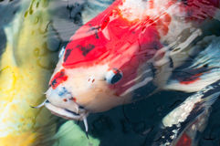Beautiful koi fish. Swimming in the pond Stock Photography