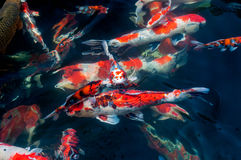 Beautiful koi fish. Swimming in the pond Royalty Free Stock Images