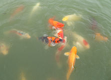 Beautiful koi fish swimming Stock Image
