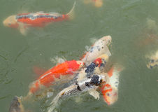Beautiful koi fish swimming Stock Photo