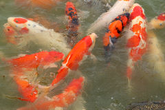 Beautiful koi fish swimming Stock Photography