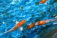 Beautiful koi fish Stock Images