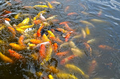 Beautiful Koi fish swimming in the pond Stock Photo
