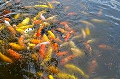Beautiful Koi fish swimming in the pond Stock Photo