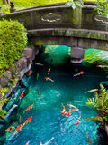 Beautiful koi fish swimming in pong in a small river, pond surrounded by green shrubs in Japanese garden Asakusa Kannon. Temple in Tokyo, Japan Royalty Free Stock Photos
