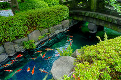 Beautiful koi fish swimming in pong in a small river, pond surrounded by green shrubs in Japanese garden Asakusa Kannon. Temple in Tokyo, Japan Royalty Free Stock Photo