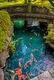 Beautiful koi fish swimming in pong in a small river, pond surrounded by green shrubs in Japanese garden Asakusa Kannon. Temple in Tokyo, Japan Stock Image
