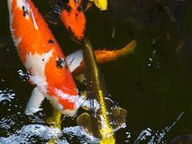 Beautiful koi fishes in a pond. stock video footage