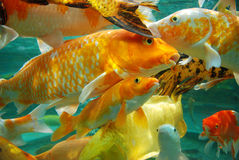 Beautiful koi in the water Stock Photography