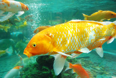 Beautiful koi in the water Royalty Free Stock Images