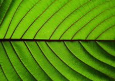 Beautiful kratom leaf texture background-closeup Royalty Free Stock Photography