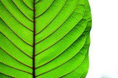 Beautiful kratom leaf texture background-closeup. Beautiful leaf texture background-closeup Royalty Free Stock Photos
