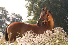 Beautiful KWPN horse. In green environment Royalty Free Stock Photo
