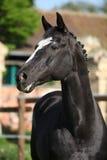 Beautiful kwpn stallion on pasturage Stock Photos