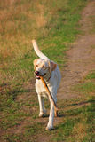 Labrador fetching a big stick. Beautiful labrador with big  stick in its mouth Stock Photo