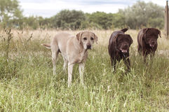 Beautiful labrador Royalty Free Stock Image