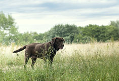 Beautiful labrador Royalty Free Stock Photography