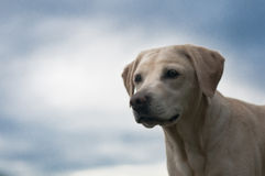 Beautiful labrador Stock Photo
