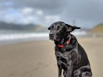 Cute dog on a windy day on the beach with ears blown back and blurred out rainbow and golden gate bridge in the background royalty free stock image
