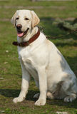 Beautiful Labrador Royalty Free Stock Photo