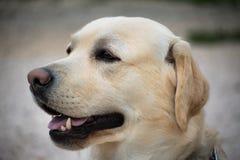 Beautiful Labrador portrait. A close up of Labrador Royalty Free Stock Photo