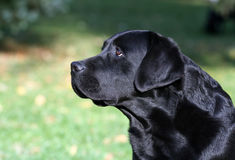 Beautiful Labrador portrait Royalty Free Stock Photo