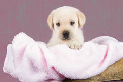 Beautiful labrador puppy lying in box with pink towel Royalty Free Stock Images