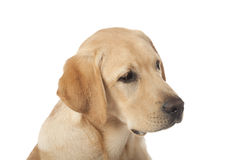 Beautiful Labrador retrieve on white background Royalty Free Stock Photo