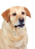 Beautiful Labrador retriever adult Royalty Free Stock Image