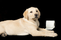 Beautiful Labrador retriever, on black background Royalty Free Stock Images