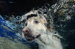 Beautiful Labrador retriever diving underwater Royalty Free Stock Photos