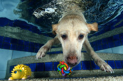Beautiful Labrador retriever diving underwater Stock Photography