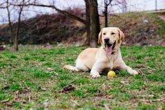 Beautiful labrador retriever dog in the park Royalty Free Stock Photos