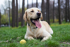 Beautiful labrador retriever dog in the park playing Royalty Free Stock Photography