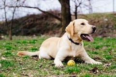 Beautiful labrador retriever dog playing Royalty Free Stock Image