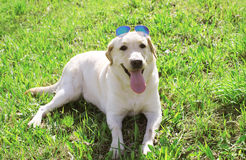 Beautiful labrador retriever dog in sunglasses Royalty Free Stock Image