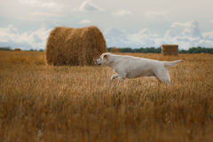Beautiful Labrador retriever, dog walking in a field, Stock Photography