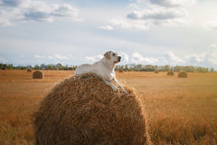 Beautiful Labrador retriever, dog walking in a field,. Lying on the hay, summer day stock photos