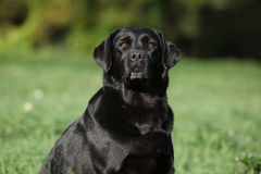 Beautiful labrador retriever looking at you Royalty Free Stock Photography